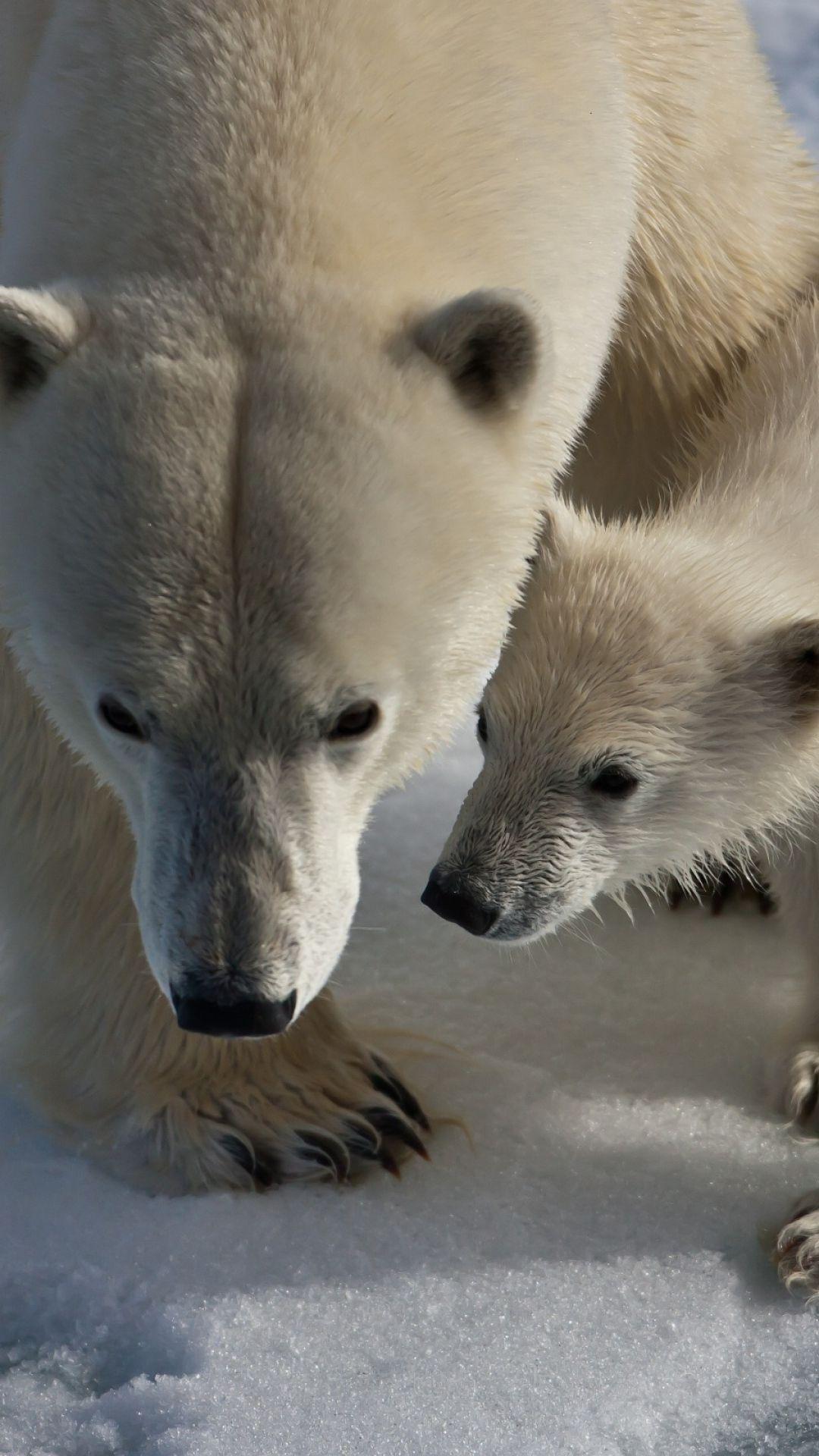 Polar Bears Snow Trail Walk Baby Animales Que Me Encantan