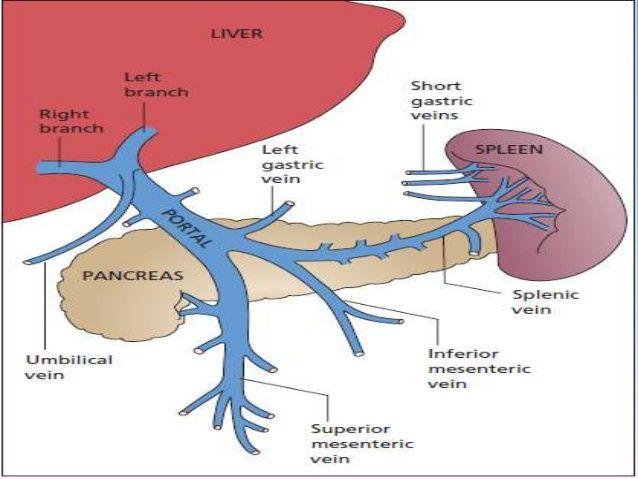 51 Recent Liver Portal Vein Anatomy Spleen Pinterest