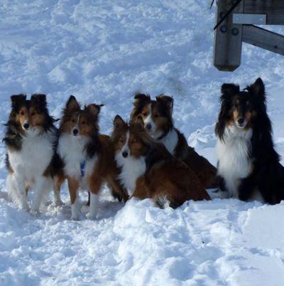Shetland Sheepdog Rescue Dog Adoption Long Island NY NJ CT