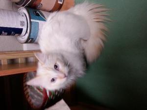 Adopt Mason On Siamese Cats Cat Adoption Pet Finder