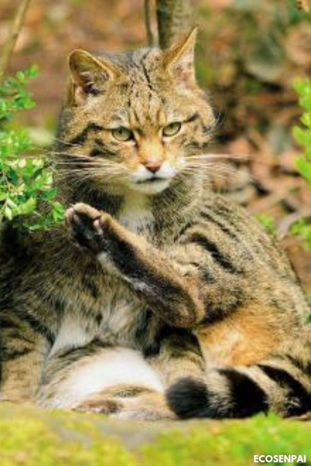 European wildcat, so adorable and sweet, wild cats