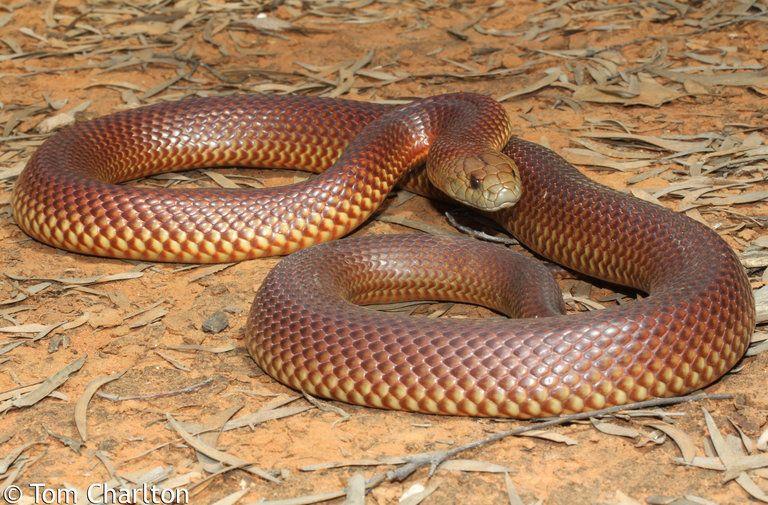 Mulga or King Brown Snake (Pseudechis australis) Mulga