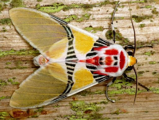 Tiger moth with clown face (Idalus herois)