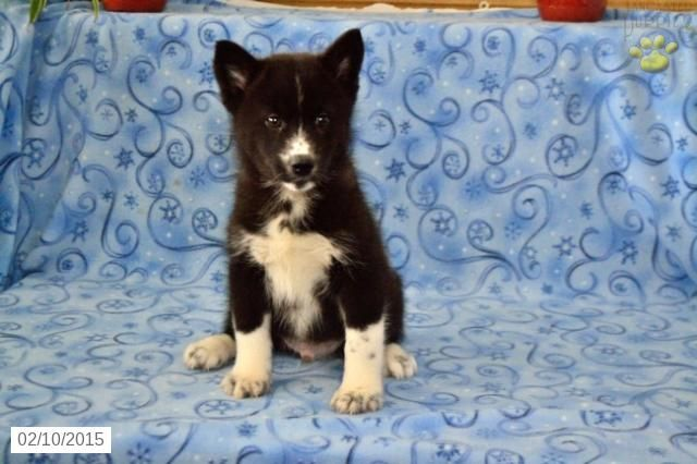 Pomsky Puppy For Sale In Ohiohttp Www Buckeyepuppies Com Puppy