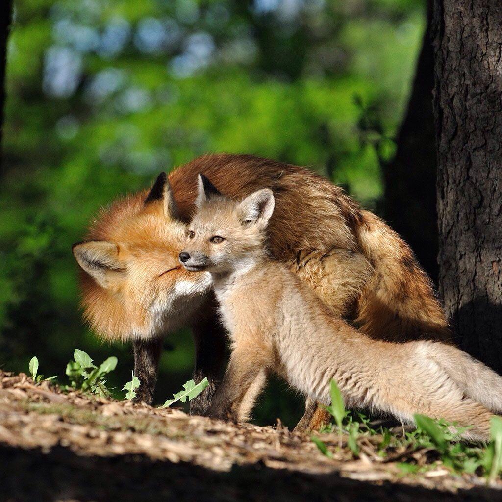 Beautiful Vixen and her cub