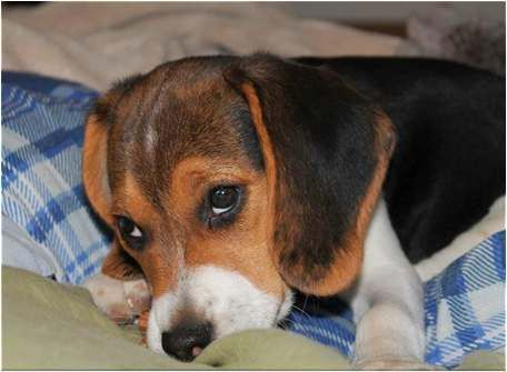 Beagle Health Problems How To You Need To Look Out For Puppy