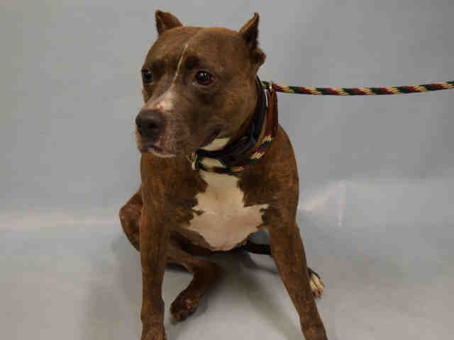 SILENT MURDER 9/14/16 Manhattan Center ROSEY – A1088029 ***DOH HOLD – B*** FEMALE, BROWN / WHITE, AM PIT BULL TER MIX, 3 yrs SEIZED – EVALUATE, HOLD FOR DOH-B Reason BITEPEOPLE Intake condition UNSPECIFIE Intake Date 08/30/2016, From NY 10456, DueOut Date 09/10/2016,
