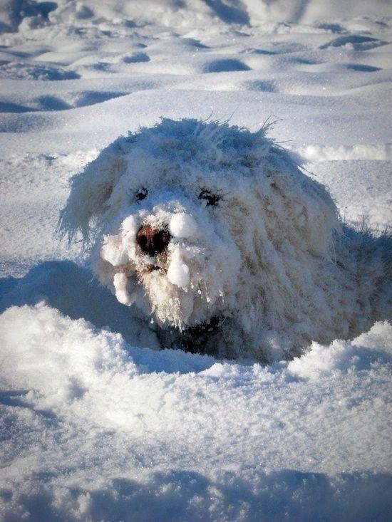 by Sarah Bourque, via 500px by Superduper,  a snow dog!!