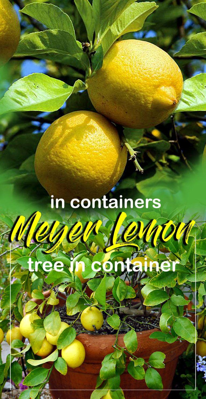 How To Grow Lemon Tree In Pots Growing Meyer Lemon Growing Lemon Trees Lemon Tree Potted Meyer Lemon Tree