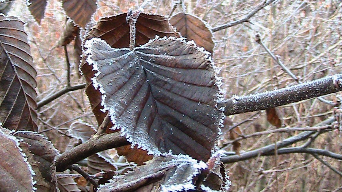 Blätter mit Reif im Winter. Aufnahme aus dem Wald mit Baumpatenschaften in Niedersachsen: www.baldwald.de