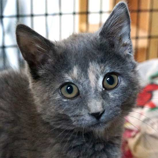 Honey Would Love To Sweeten Your Life With Unconditional Love Meet This Tortie Kitten Today At Our Center Adopt Animals Pet Adoption Cat Adoption