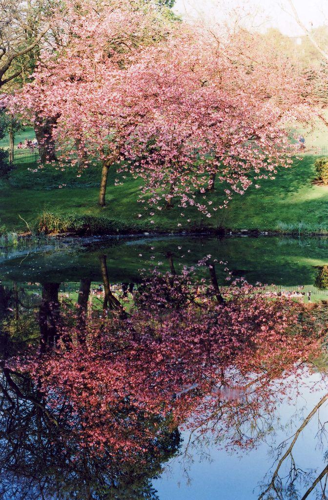 Sakura In Japan Nature Beautiful Tree Cherry Blossom