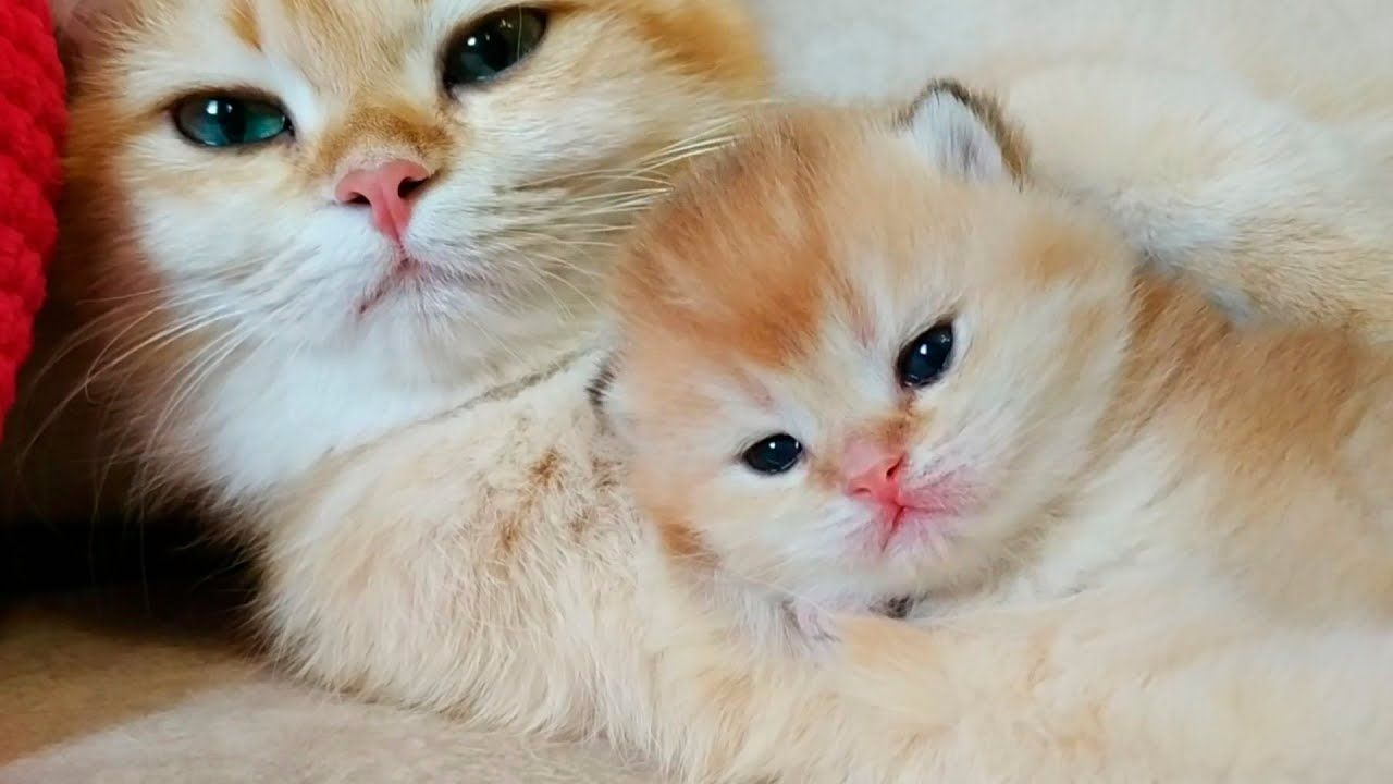 2 Weeks After Birth Tiny Kittens Meowing Soo Cute In 2020 Kitten Meowing Tiny Kitten Cute Kitten Gif