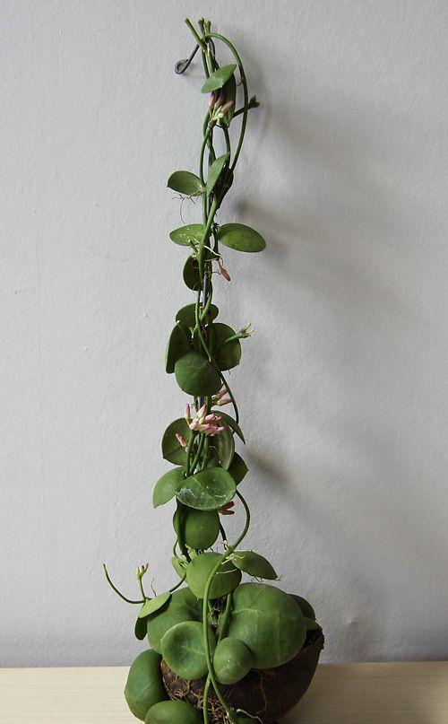 Dischidia pectenoides pflanzen pinterest pflanzen for Originelle zimmerpflanzen