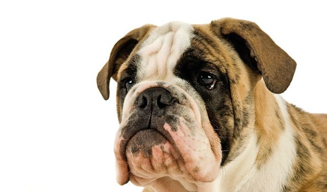 Everything You Want To Know About Bulldogs Including Grooming