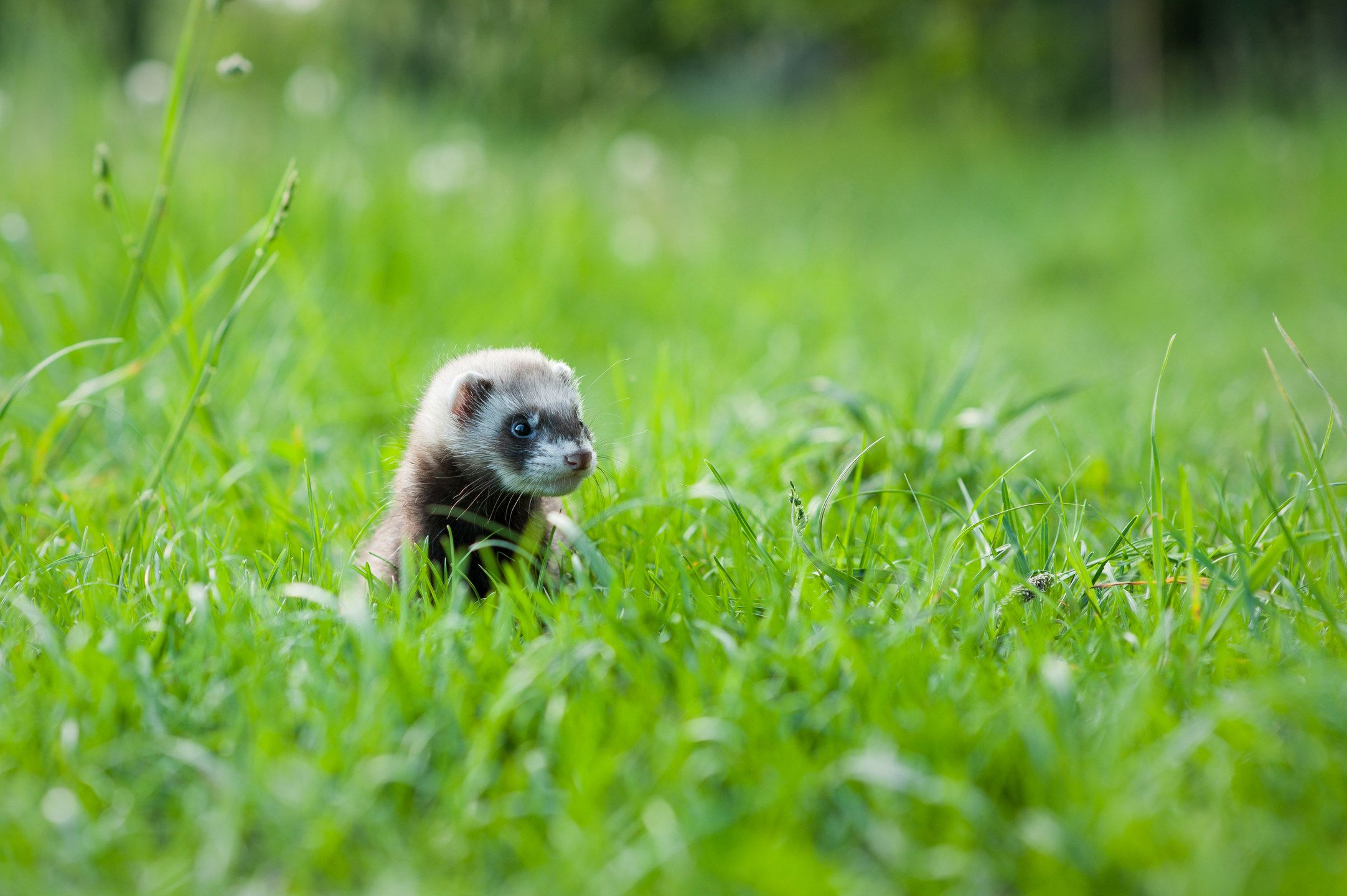 Ferret Hd Wallpapers New Tab Theme Install This Theme And Enjoy Hd Wallpapers Of Ferret Every Time You Open A New Tab Wallpaper Ferret Hd Wallpaper