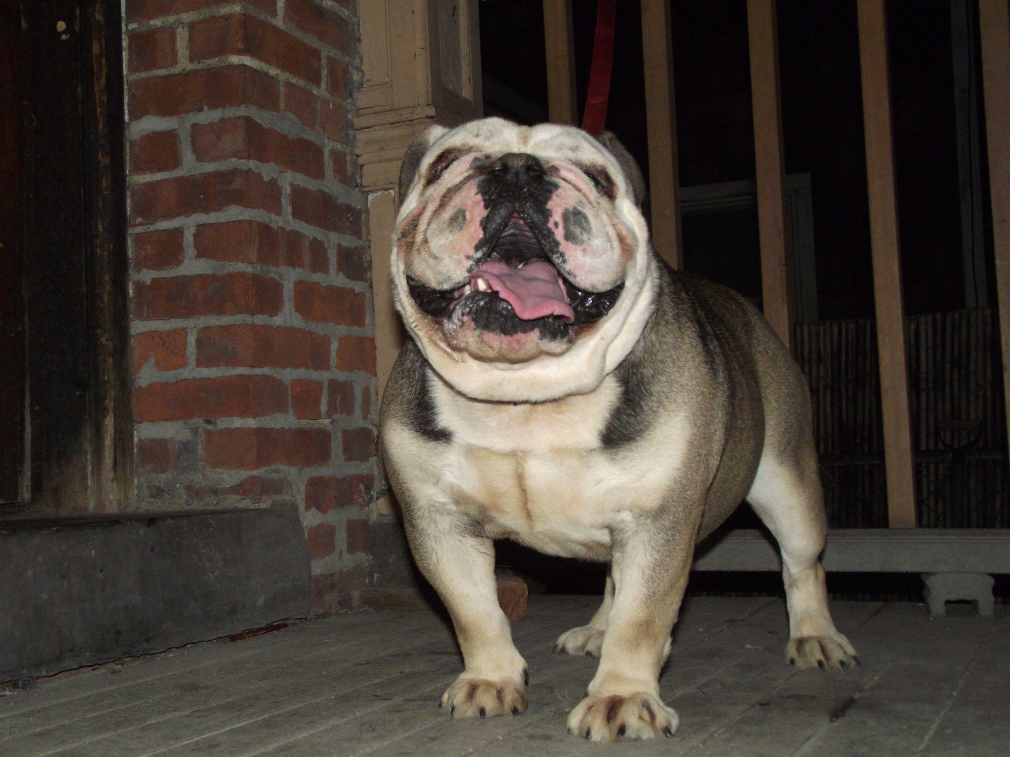 English Bulldog Manny's Cuma Bada he carries Blue, Tri