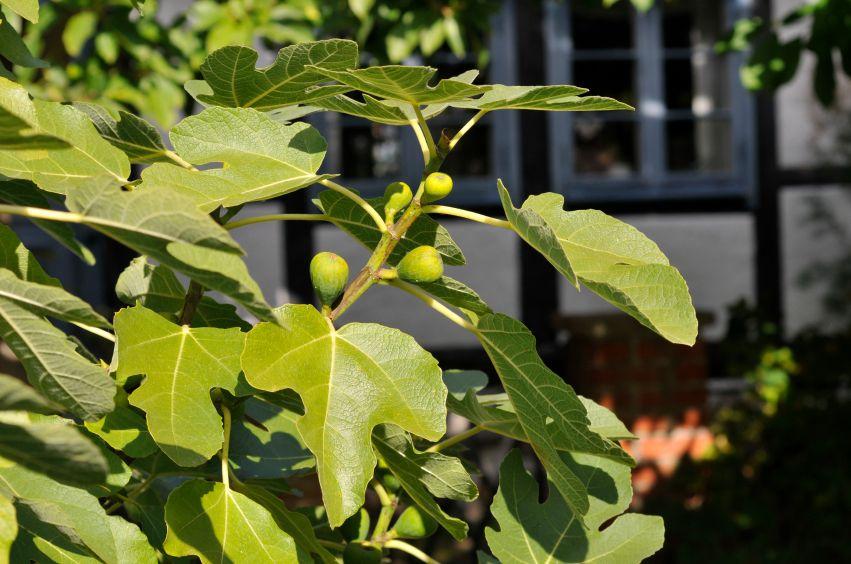 eine feige sollte regelm ig in form geschnitten werden garten feigenbaum garten bepflanzen. Black Bedroom Furniture Sets. Home Design Ideas