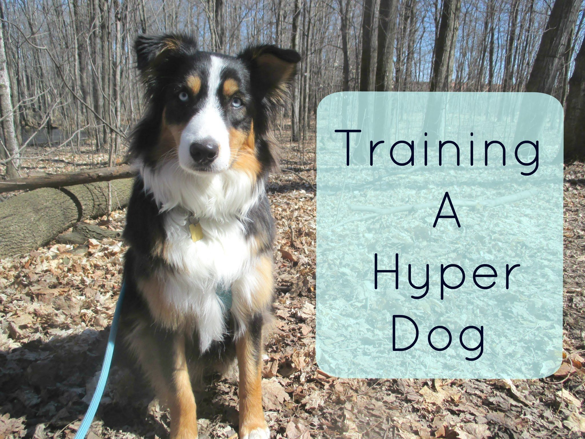 Training A Hyper Dog Tips And Tricks For Traning An Australian