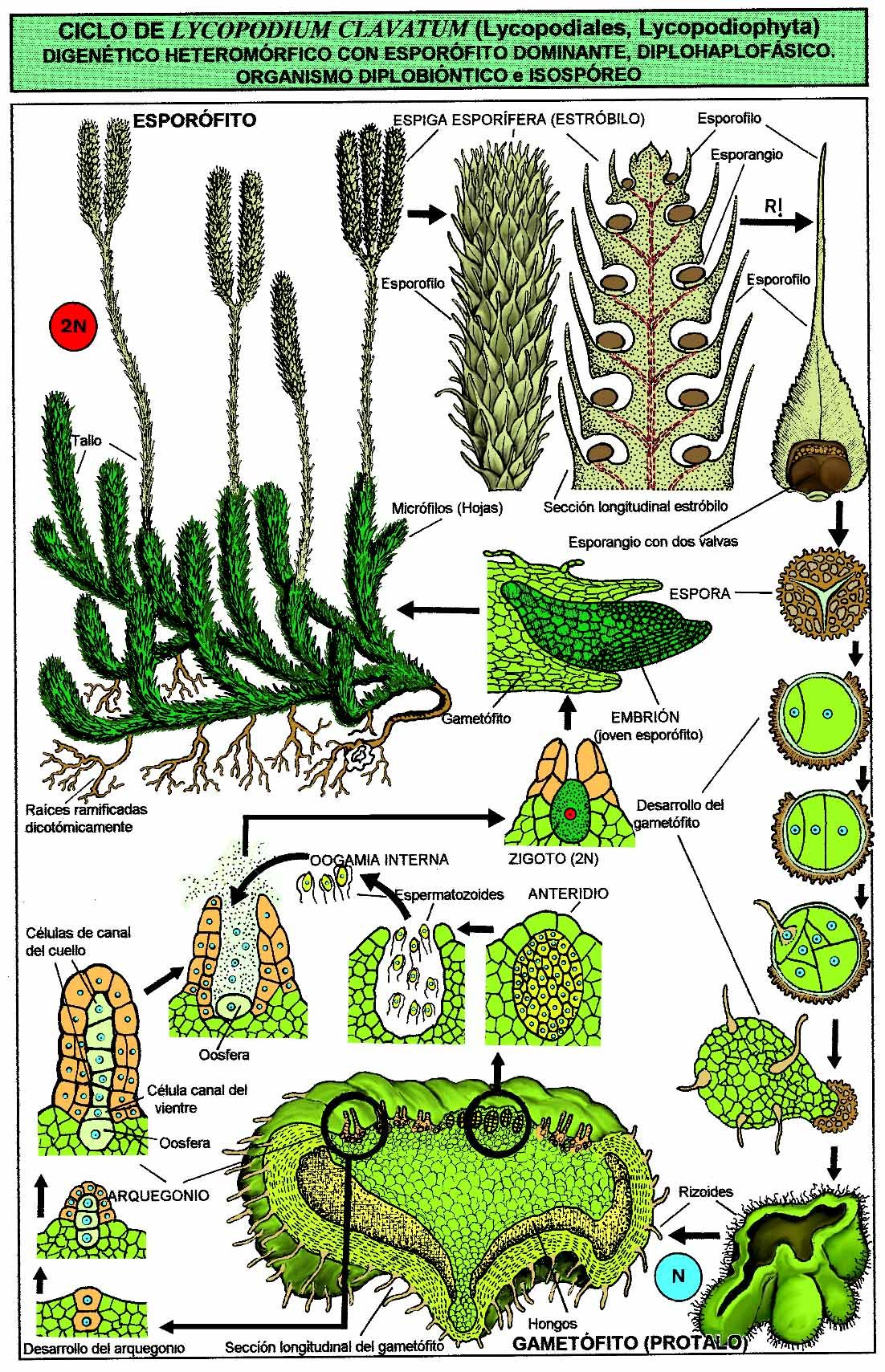 life cycle of a labeled moss diagram 3 chambered heart lycopodium botany the secret plants