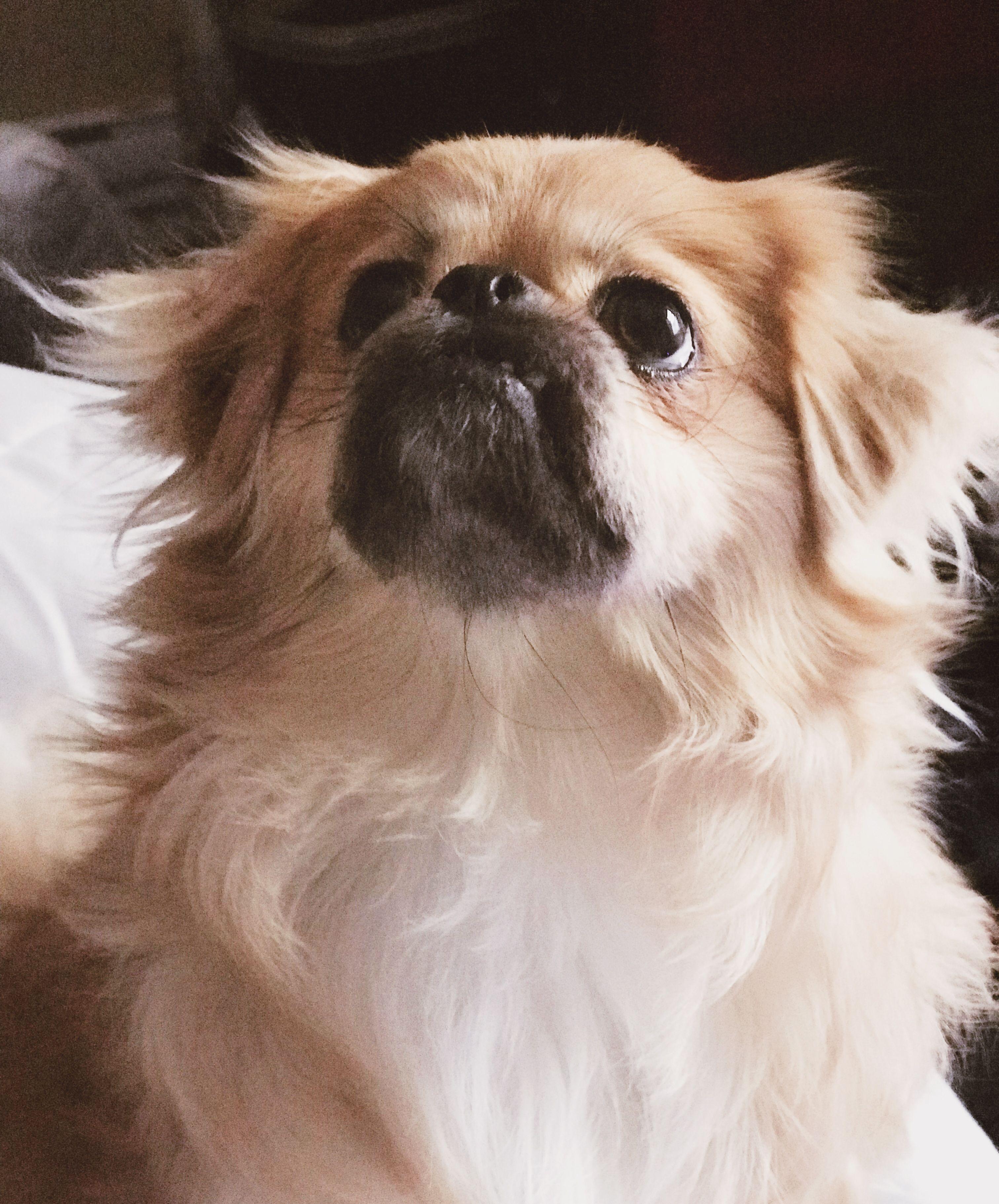 Pomeranian Pekinese Mix , Goldenacresdogs.com