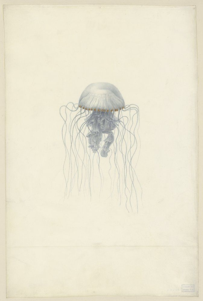 Méduses | Muséum d'histoire naturelle du Havre