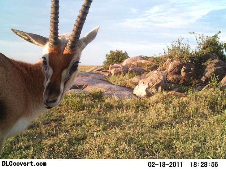 @SnapSerengeti releases camera trap photos