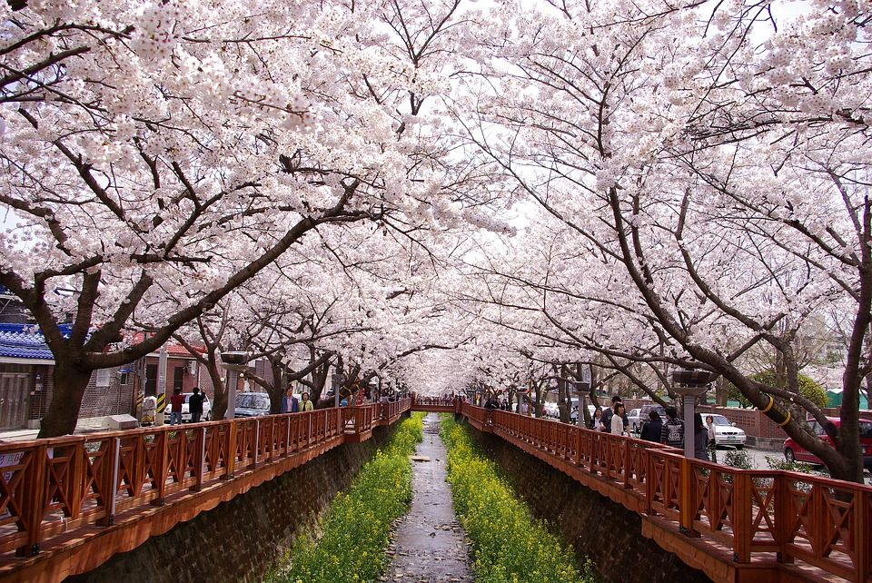 Korea S Cherry Blossoms 2019 Forecast When Where To Catch Them Cherry Blossom Cherry Blossom Festival Korea