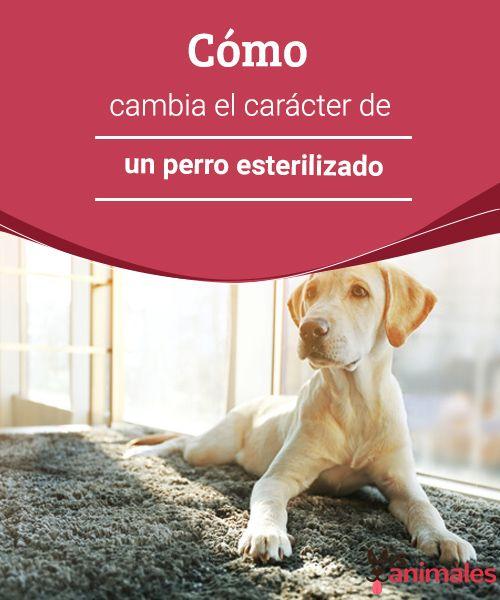 Cómo cambia el carácter de un perro esterilizado   Un perro esterilizado solo puede cambiar su carácter en aquellos aspectos que dependen de las hormonas sexuales masculinas. #salud #crácter #esterilizado #perro