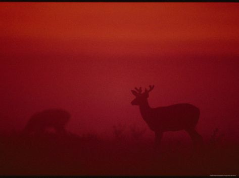 MULE DEER SILHOUETTED AT TWILIGHT  Photographic Print|Item #: 14281874A