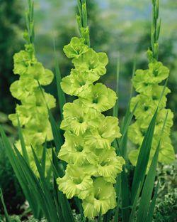Pin By Gulnara Bajdauletova On Gladiolus Kardvirag Bulb Flowers Gladiolus Flower Gladiolus Bulbs