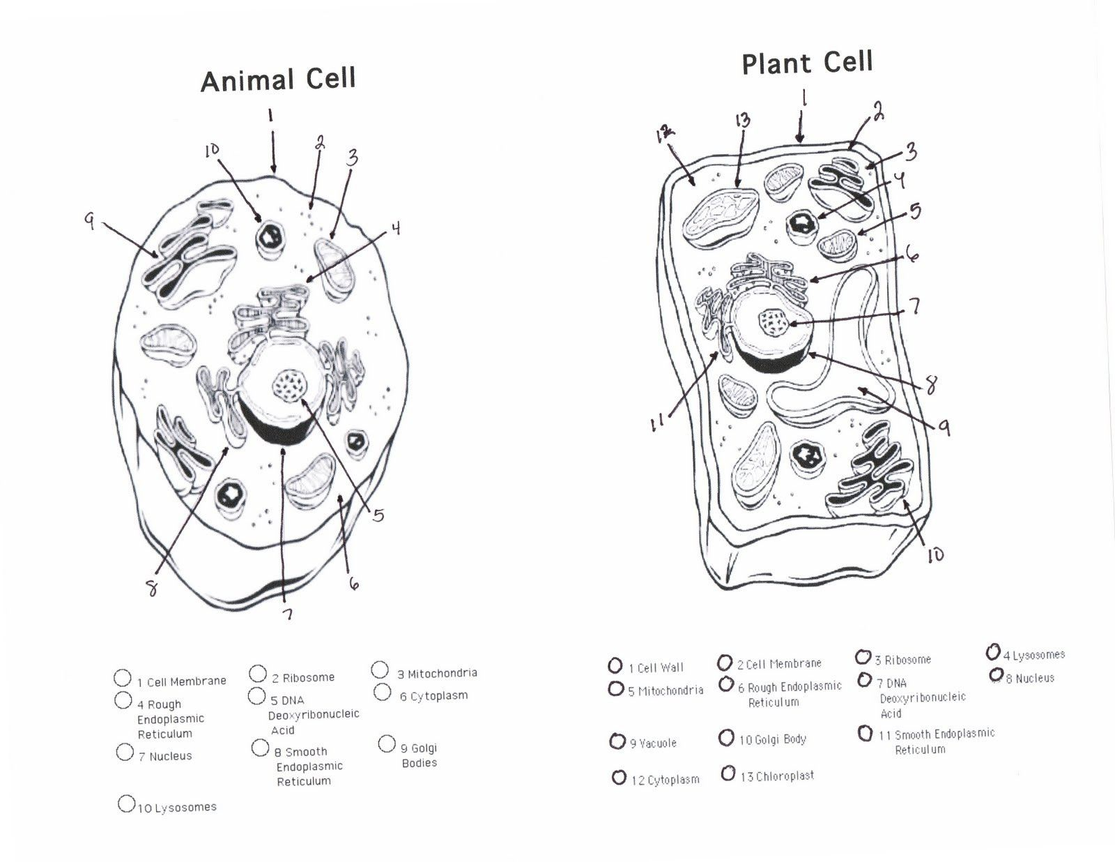 Animal Cell Color With Images