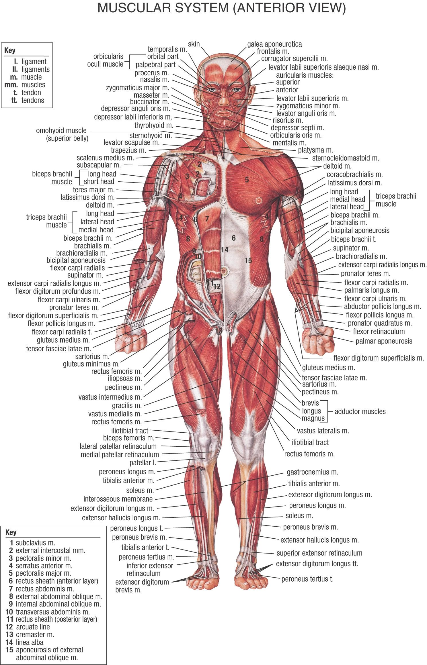 The Muscular System | Anterior View | Personal training resources ...