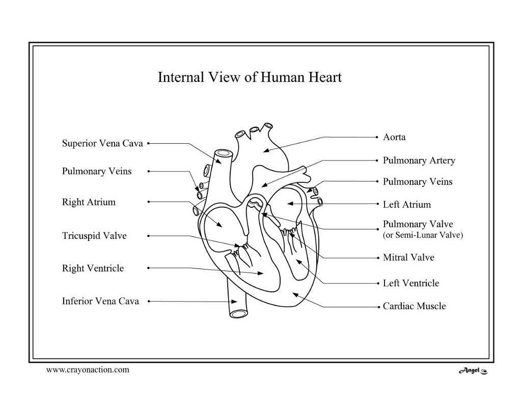Human Heart Coloring Page 13