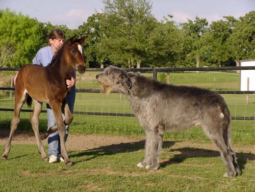 Irish Wolfhound Dog Same Size Of Horse Irish Wolfhound Dogs
