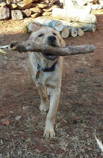 Golden retriever puppy loves sticks!