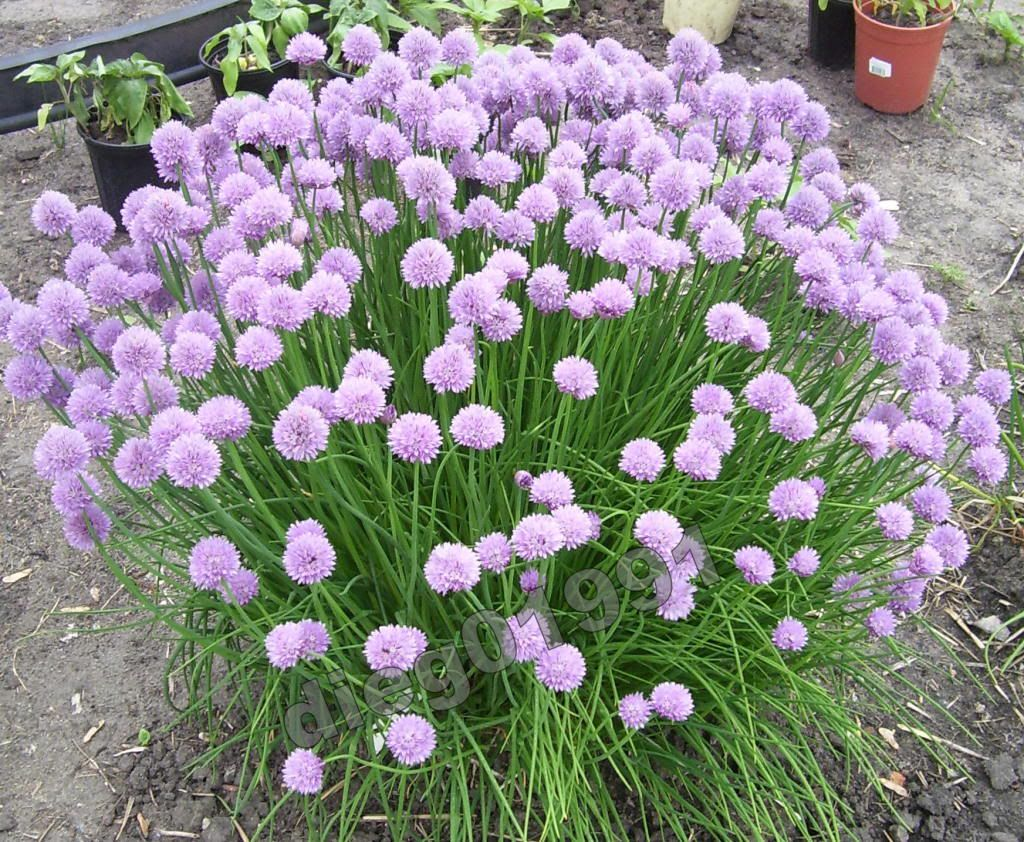 How To Prune Chives Deadhead The Flowers Chives Plant Plants Chive Flower