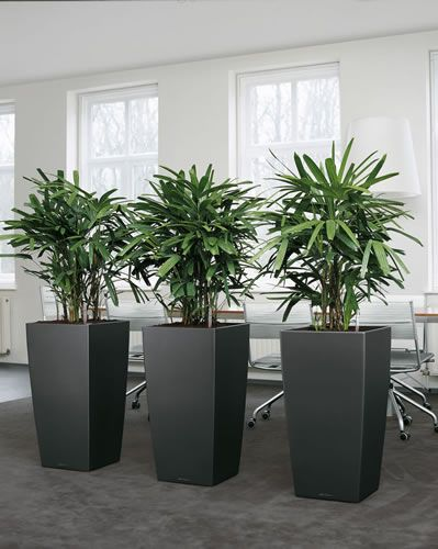Rhapis Excelsior Plants Create A Stunning Office Divider