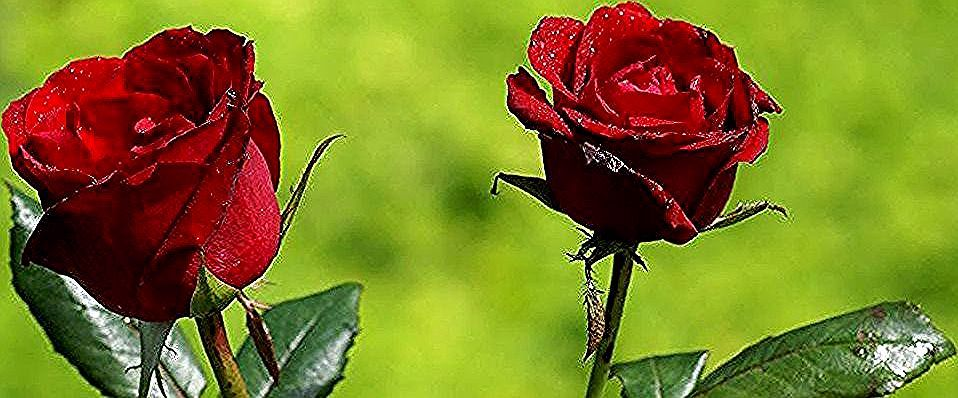 Menakjubkan 21 Bunga Mawar Merah Berduri Alasan Mengapa Bunga Mawar Merah Sangat Populer Sayyidah Fatimah Az Zahra Muslimah Seperti Mawa In 2020 Flowers Rose Plants