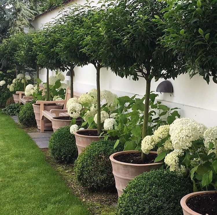 Small Trees For Borders: Beautiful Potted Trees With White Hydrangea And Round