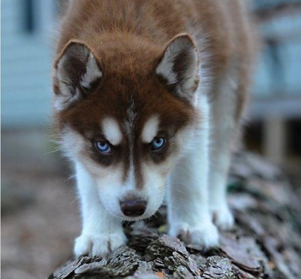 Red Siberian Husky Siberianhusky Siberian Husky Dogs Husky