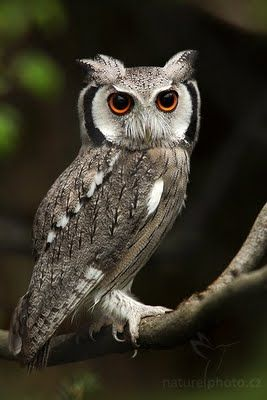 japanese scops owl what