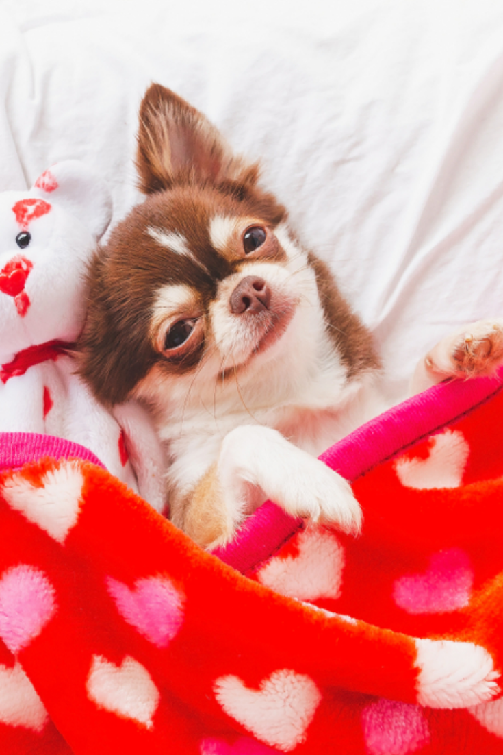 Cute #chihuahua puppy sleeping with teddy bear on the ...