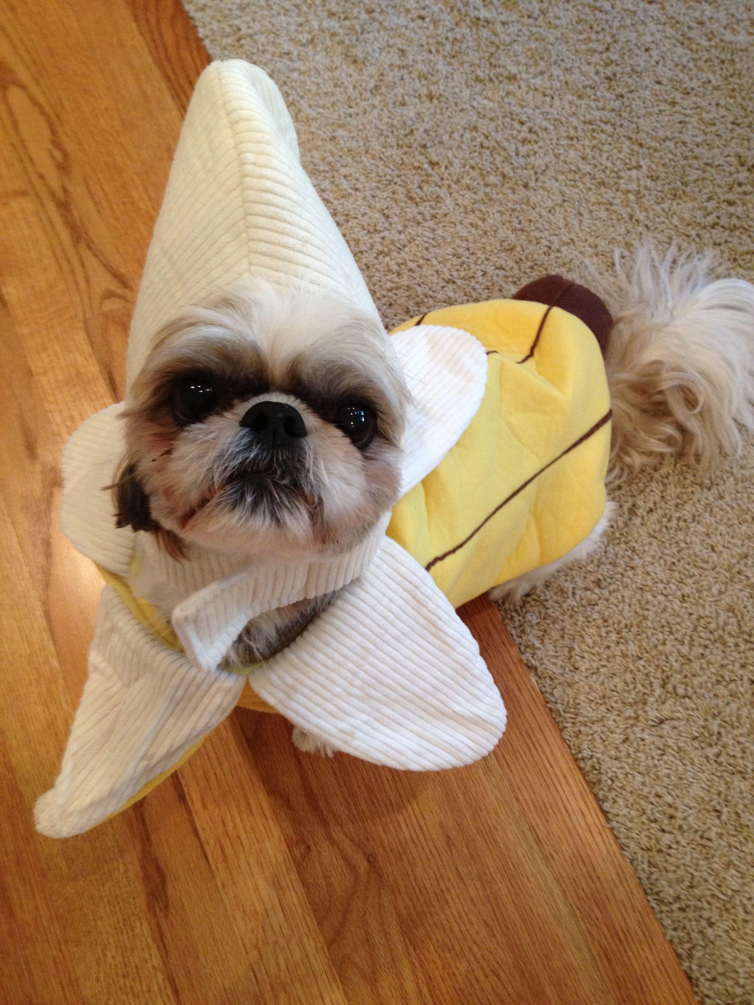 Shih tzu in a banana costume ) Dog halloween costumes