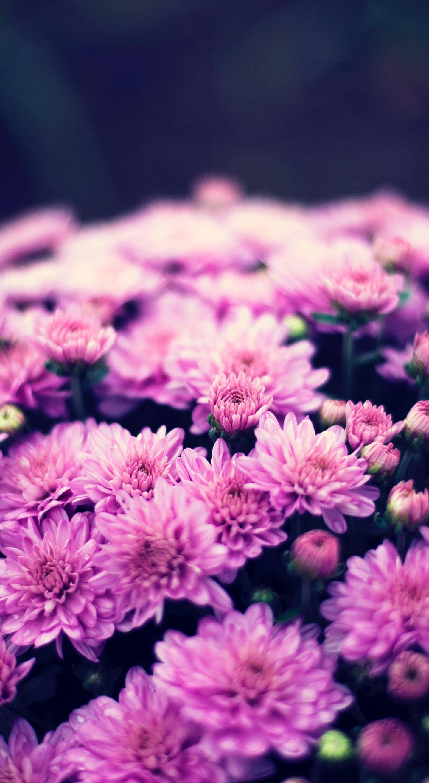 1440x2630 Chrysanthemums Flowers Bouquet Wallpaper Flower Wallpaper Purple Backgrounds Wallpaper Coolest chrysanthemum flower wallpaper