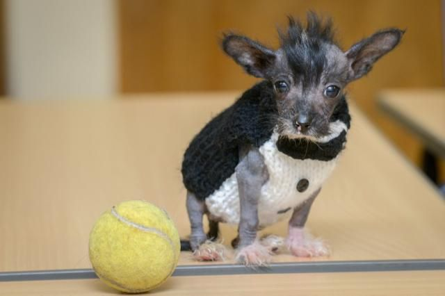 Rescue Pup So Hairless And Small He's Given Jumpers Made