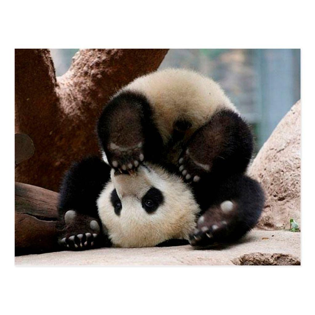 Baby pandas playing - baby panda cute panda Postcard #babypandas Baby pandas playing - baby panda cute panda Postcard #babypandabears