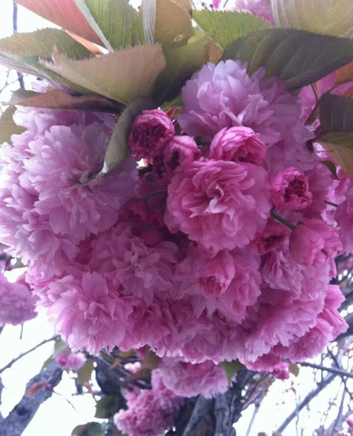 Clusters of pink flowers. I saw this flowering tree during my afternoon walk. So enchanted by its beauty.
