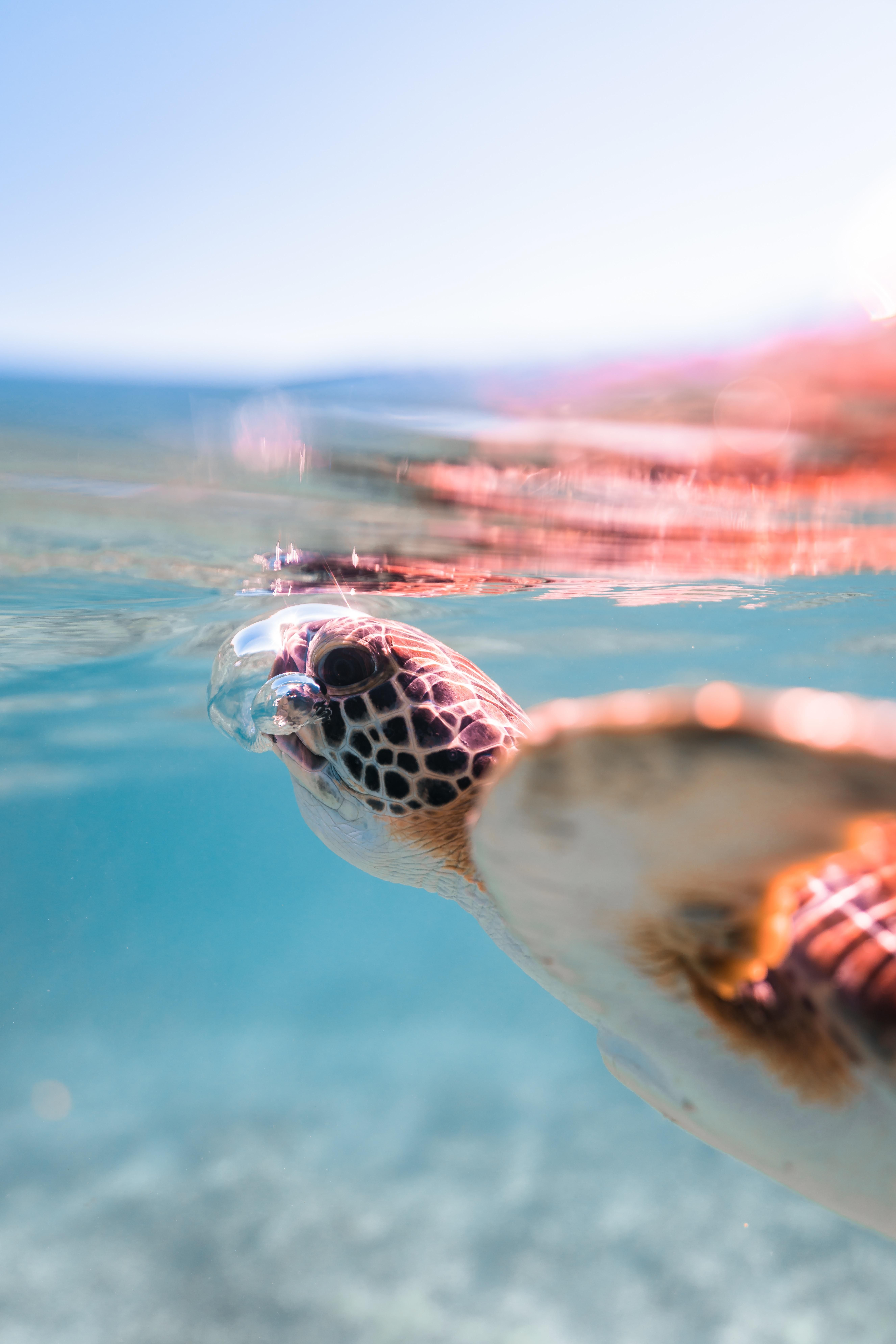 A sea turtle getting some air animals nature
