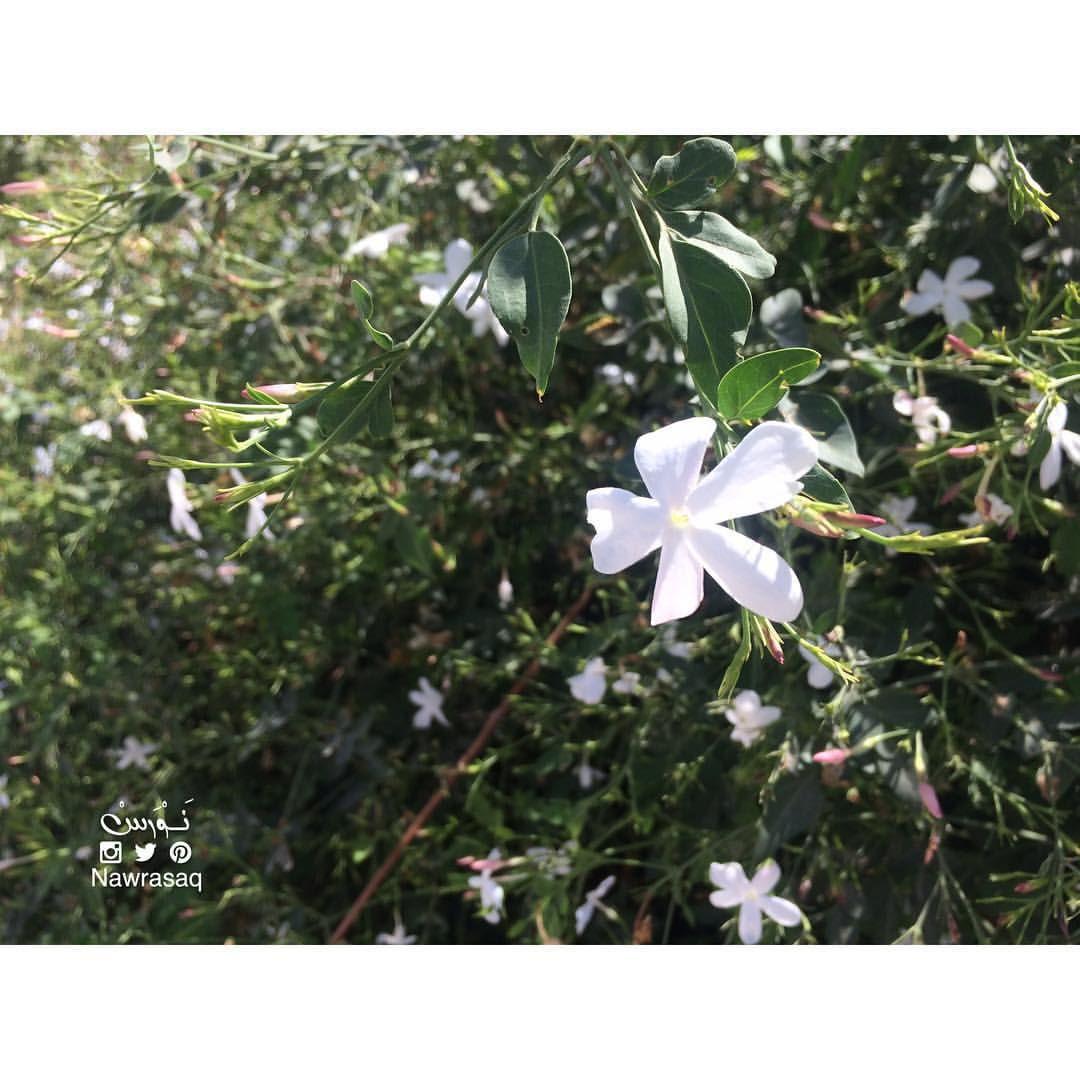 ن و ر س Nawras On Instagram لي في قلبك ياسمينة أينما كنت لا أهدأ إلا على غصنها ياسمين Jasmine Cool Words Flowers Like